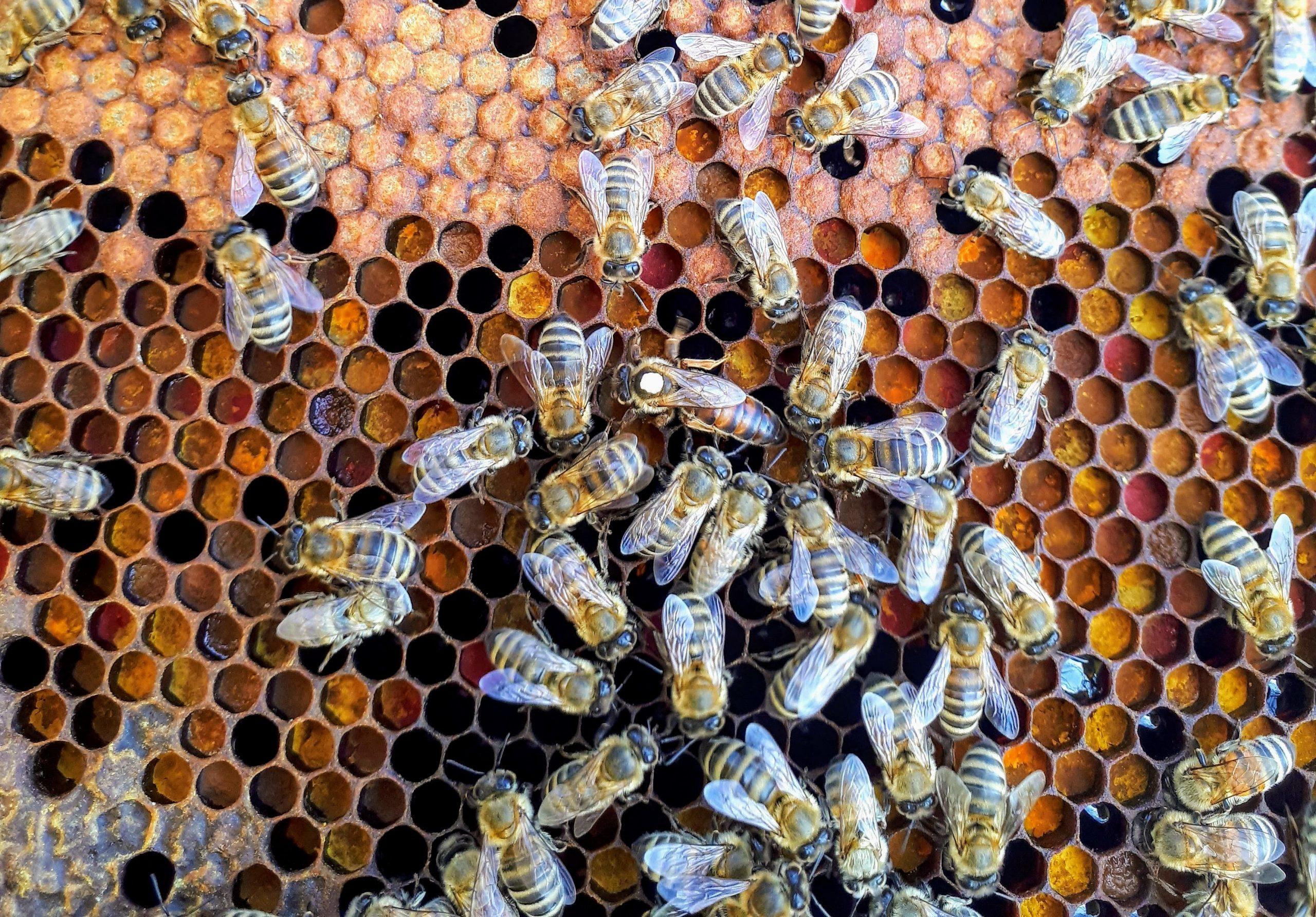 Bees Queen Bee